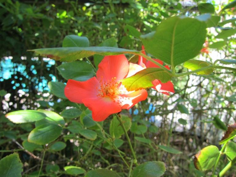 Coral Meidiland rose